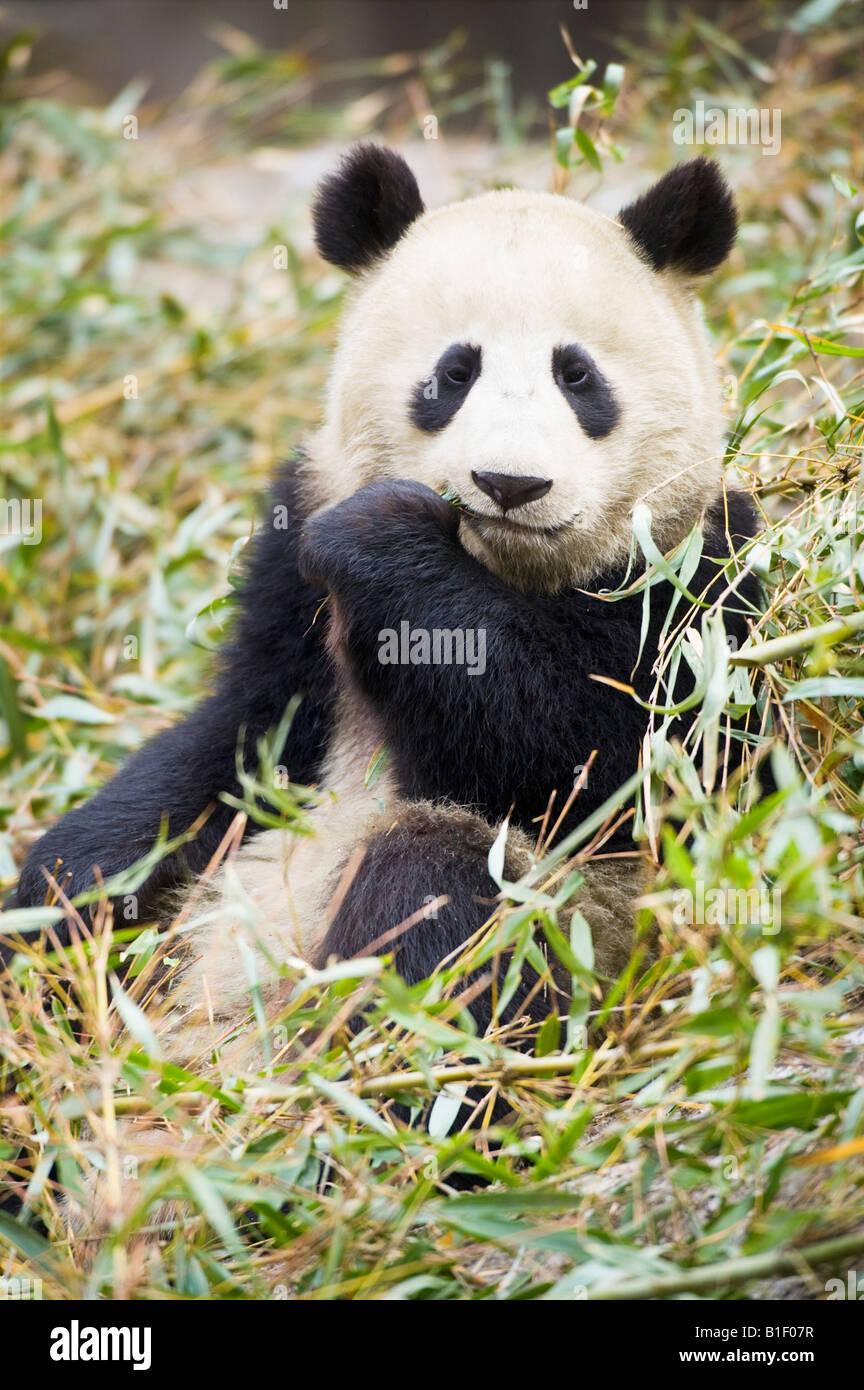 Giant Panda Bambus Woolong China Essen Stockfoto Bild 18154523 Alamy
