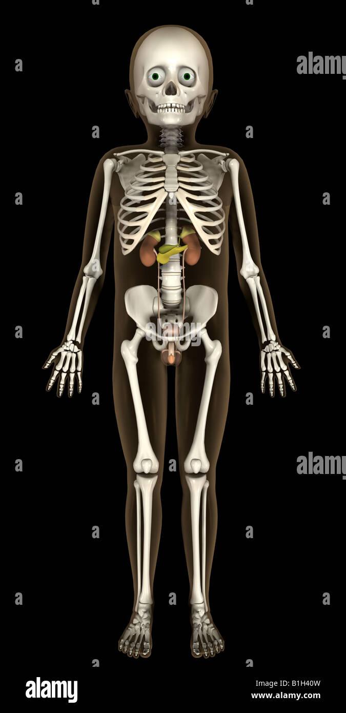 Anatomie Skelett Harn Stockfoto, Bild: 18201369 - Alamy