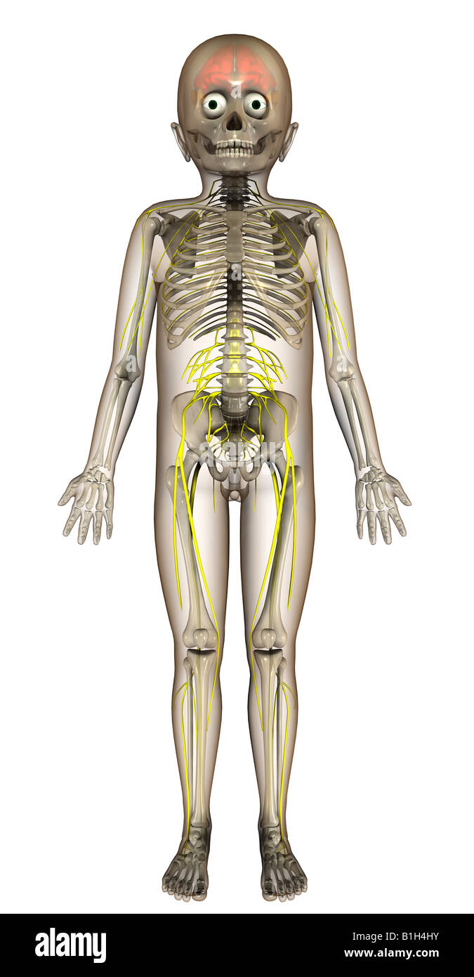 Spinal Nerves Stockfotos & Spinal Nerves Bilder - Alamy