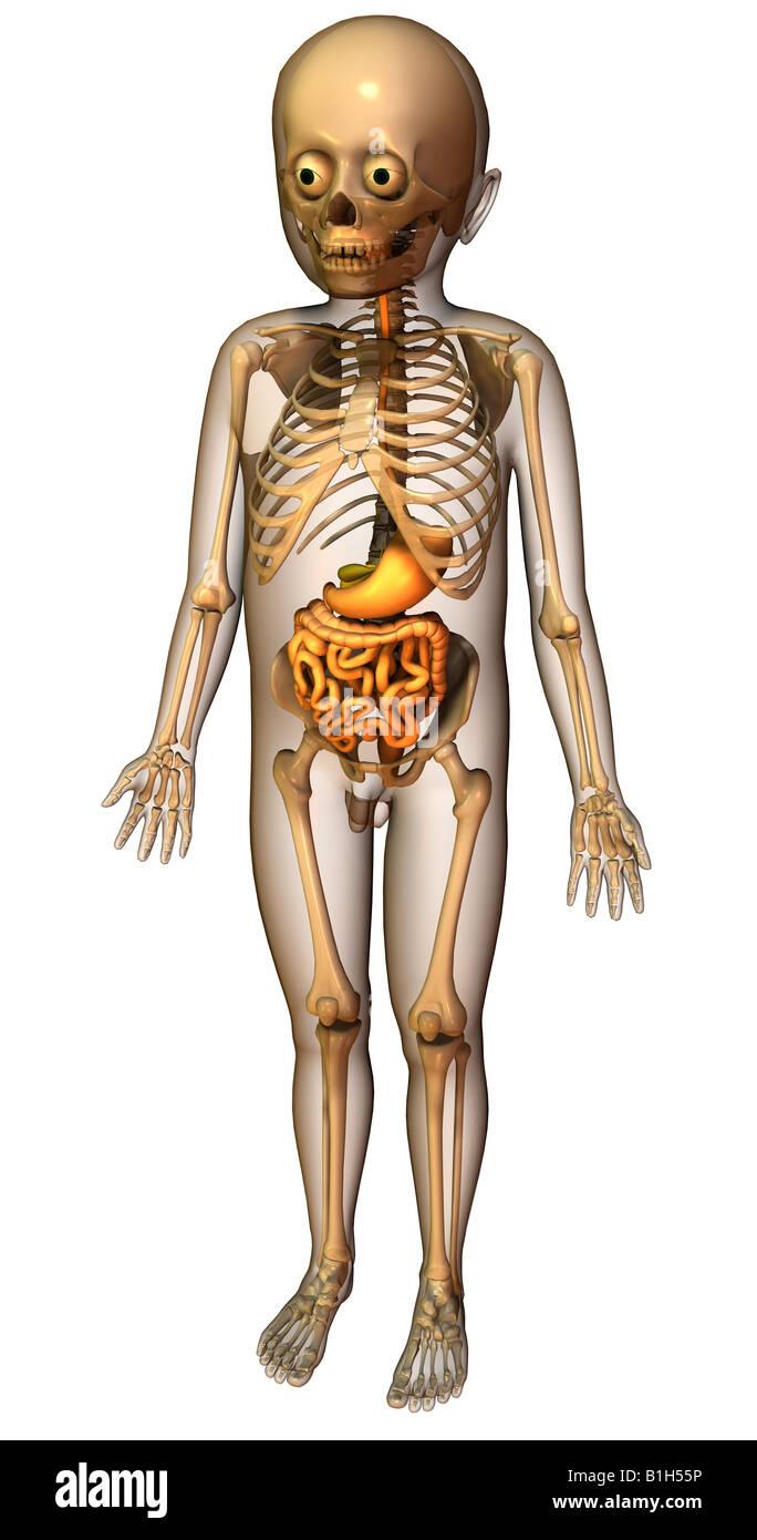 Skelett Anatomie Verdauungssystem Stockfoto, Bild: 18202290 - Alamy