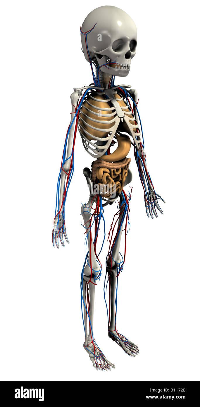 Anatomie Skelett Kreislauf Herz Lunge Magen Stockfoto, Bild ...