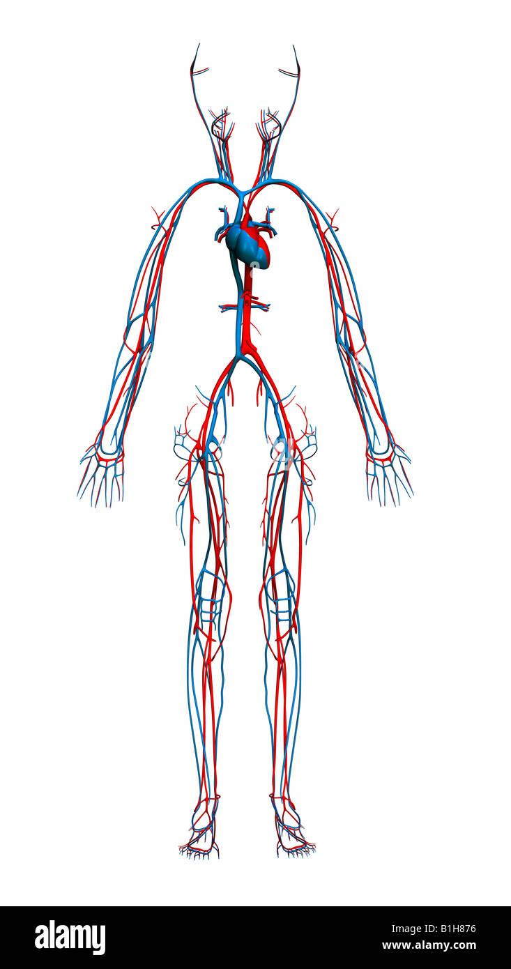 Blutgefäße Stockfotos & Blutgefäße Bilder - Alamy