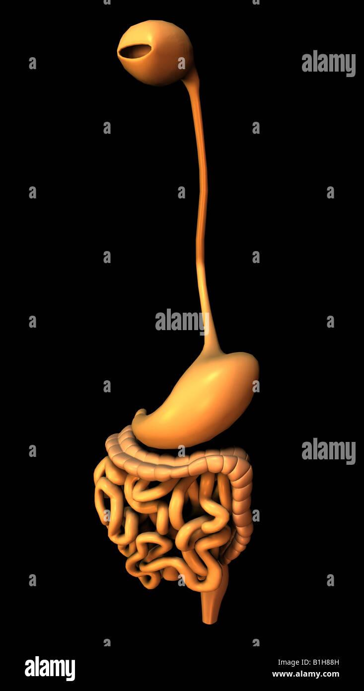 Anatomie Magen Darm Stockfoto, Bild: 18204721 - Alamy