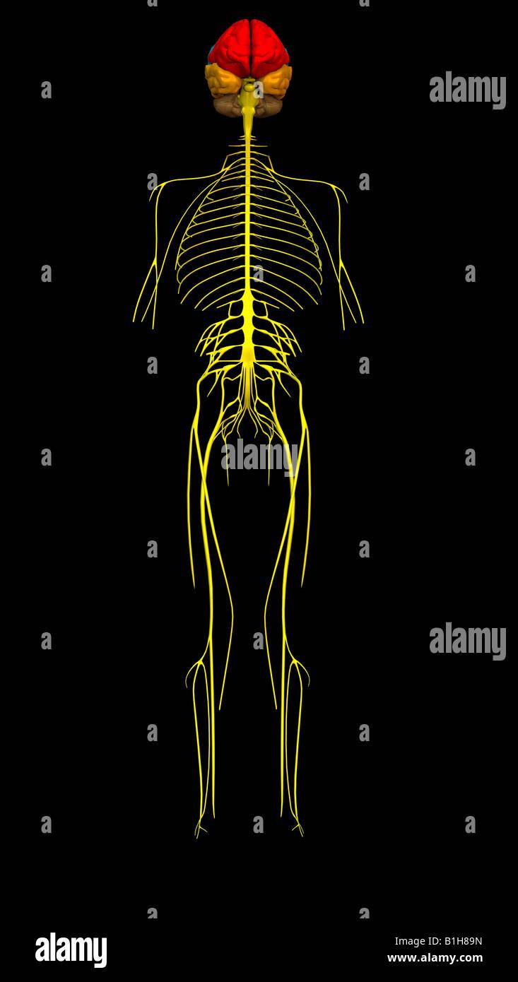 Anatomie Gehirn Nerven Stockfoto, Bild: 18204753 - Alamy