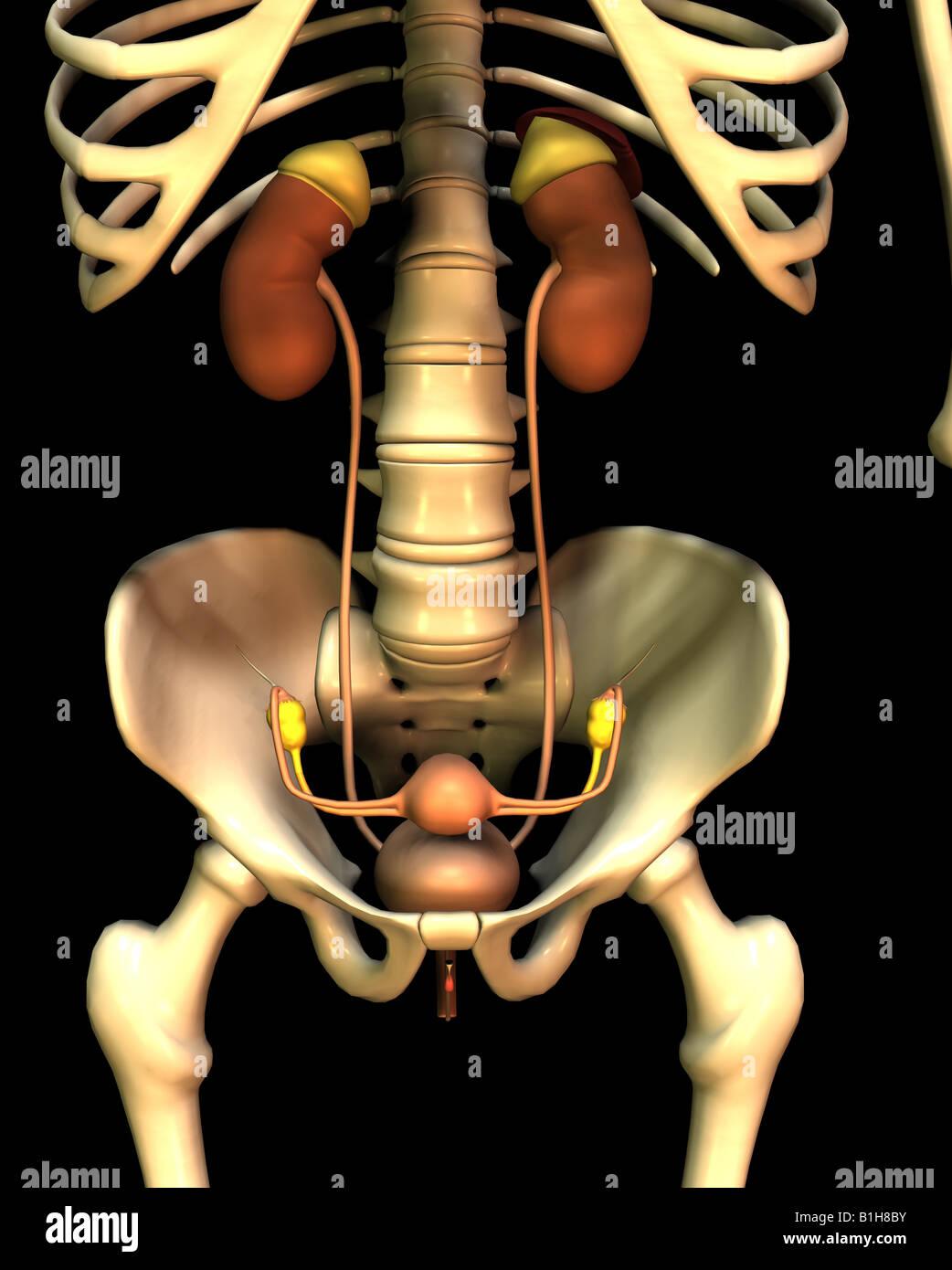 Anatomie Harn-weibliche Geschlechtsorgane Stockfoto, Bild: 18204815 ...