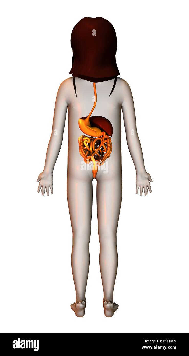 Anatomie-Magen-Darm-Leber Stockfoto, Bild: 18204825 - Alamy