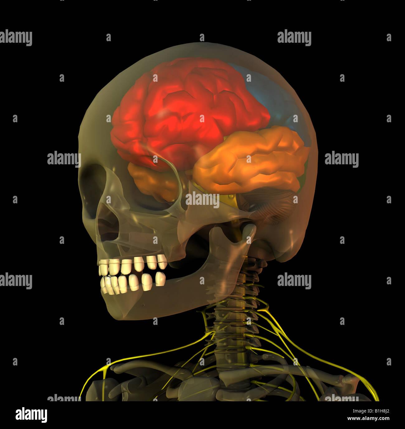 Anatomie Kopf Gehirn Stockfoto, Bild: 18204986 - Alamy