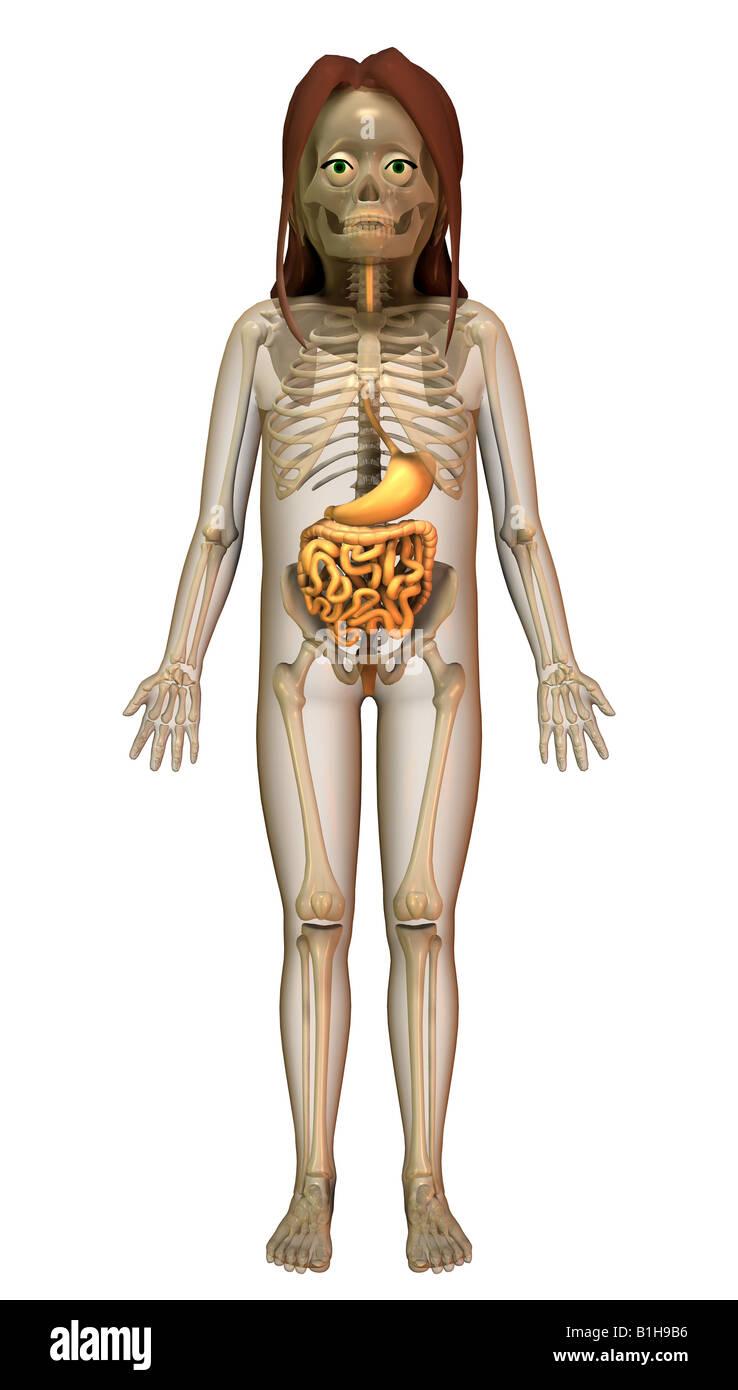 Female Intestinal Anatomy Stockfotos & Female Intestinal Anatomy ...