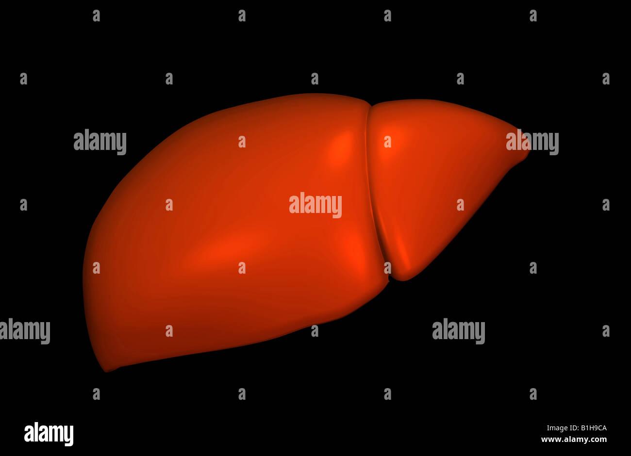 Anatomie Leber Stockfoto, Bild: 18205610 - Alamy