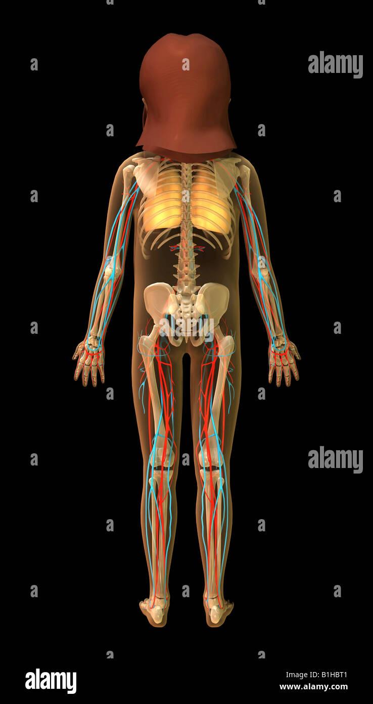 Ungewöhnlich Lungenanatomie Zeitgenössisch - Menschliche Anatomie ...