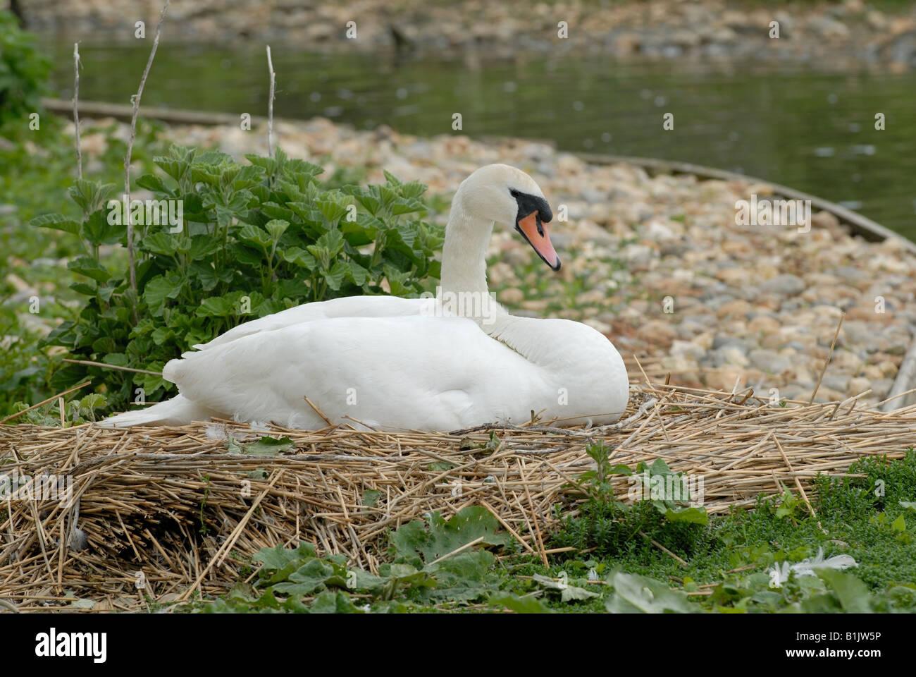 Höckerschwan Stift auf ein Nest mit Eiern an Abbotsbury Swannery Stockbild