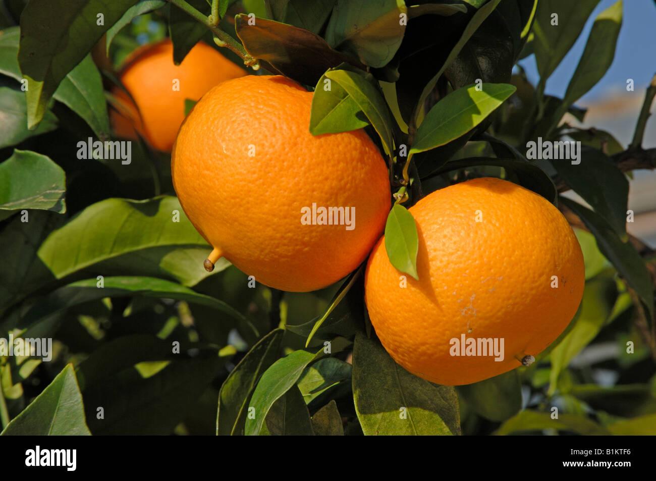 Sweet Orange (Citrus Sinensis), Frucht am Baum Stockbild