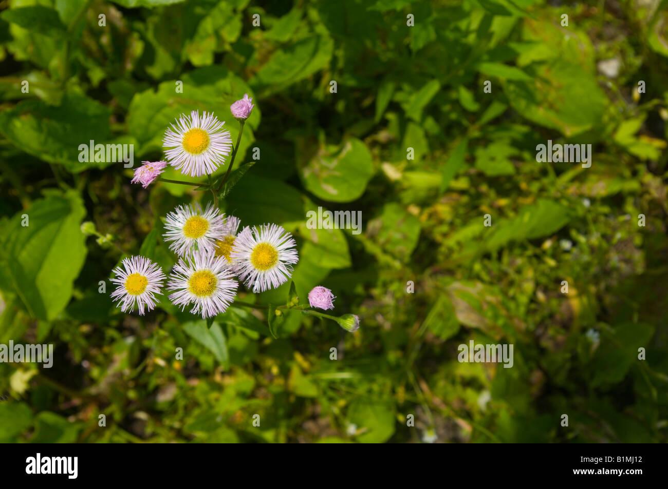 Gemeinsamen Berufkraut in voller Blüte mit teilweise offenen Blüten zeigen Unschärfe der Blätter Stockbild