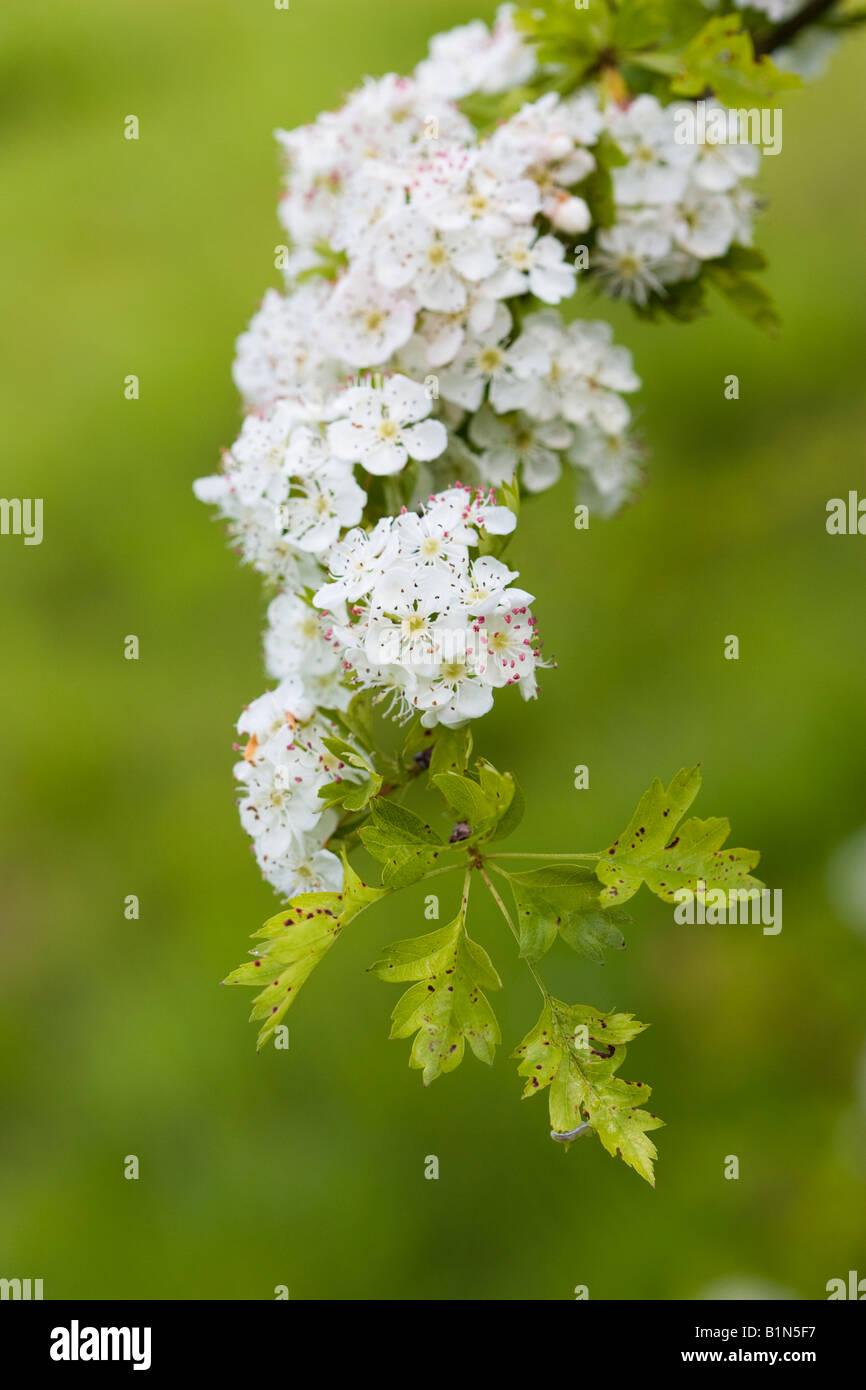 Herabhängenden Zweig der Weißdorn (Crataegus Monogyna) Blüte Stockbild