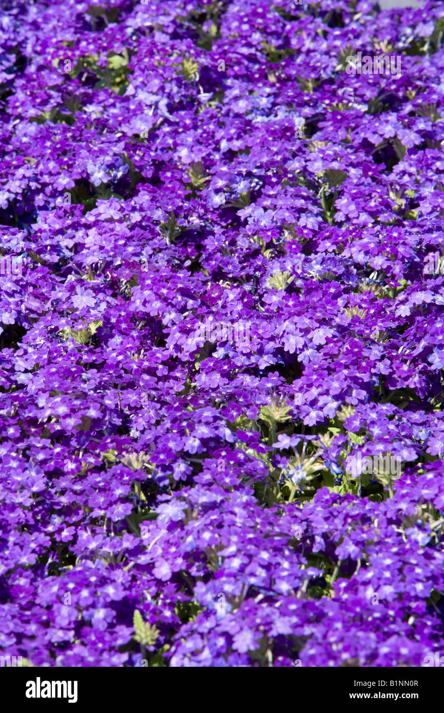 garden purple bedding plants stockfotos garden purple bedding plants bilder alamy. Black Bedroom Furniture Sets. Home Design Ideas