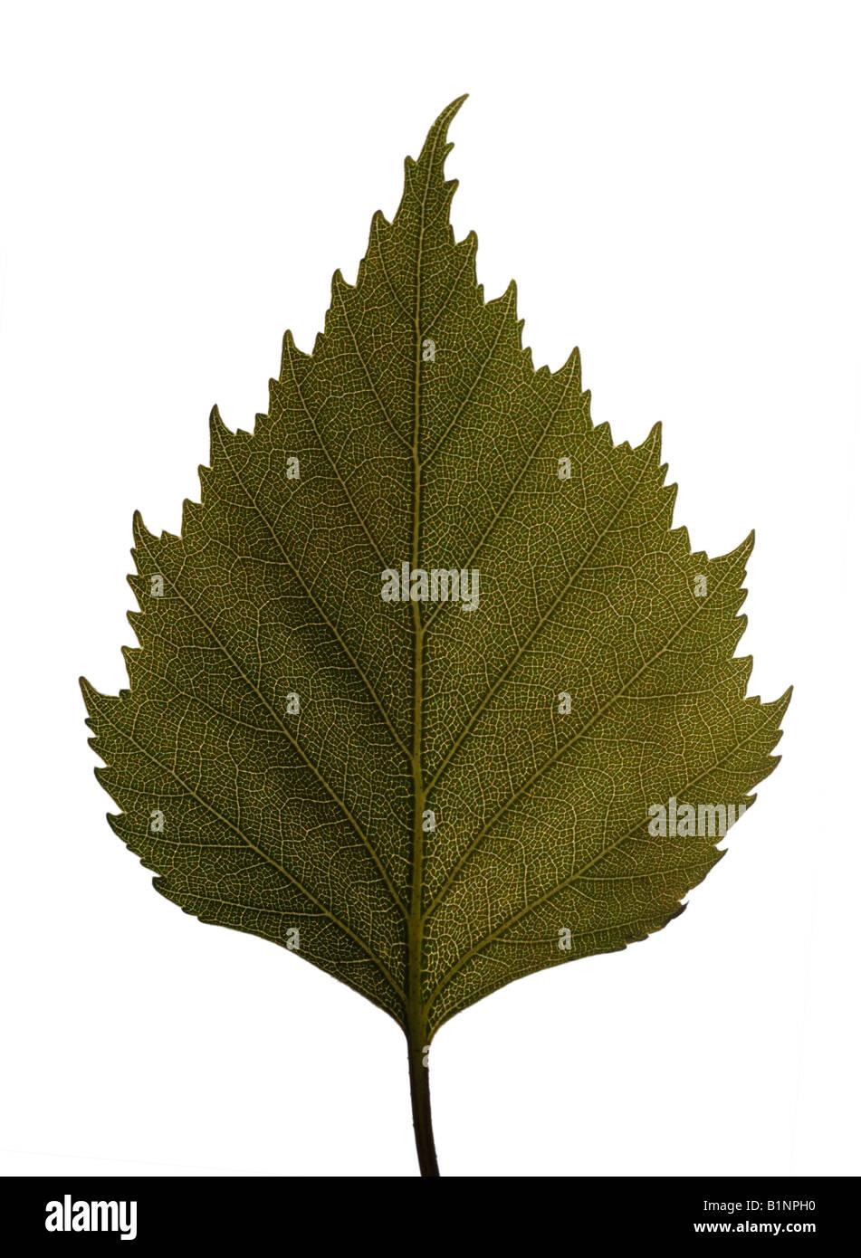 Birke Baum Blatt Stockbild