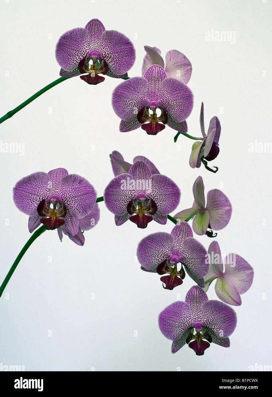 Rosa Orchidee blüht Stockbild