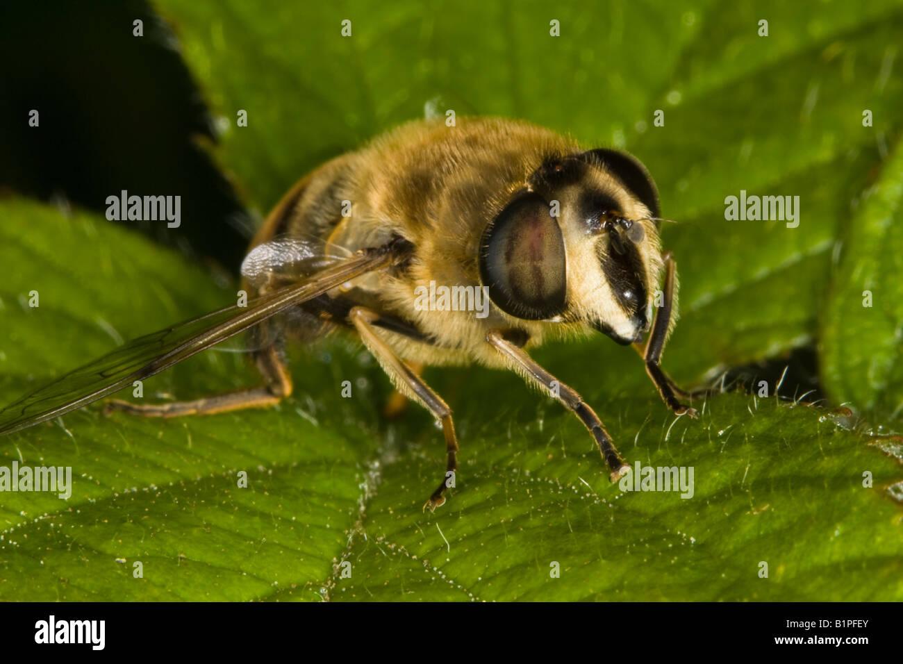 Drohne fliegen (Eristalis Tenax) - eine Imitation der Europäischen Honigbiene Stockbild