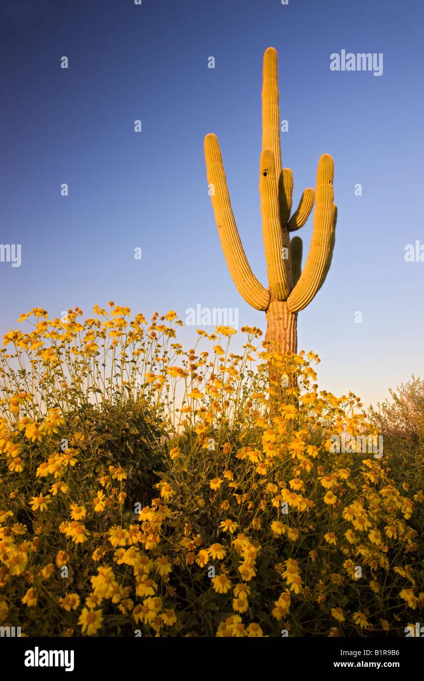 Saguaro Kakteen und Brittlebush Wildblumen in McDowell Mountain Regional Park in der Nähe von Fountain Hills Ariziona Stockfoto