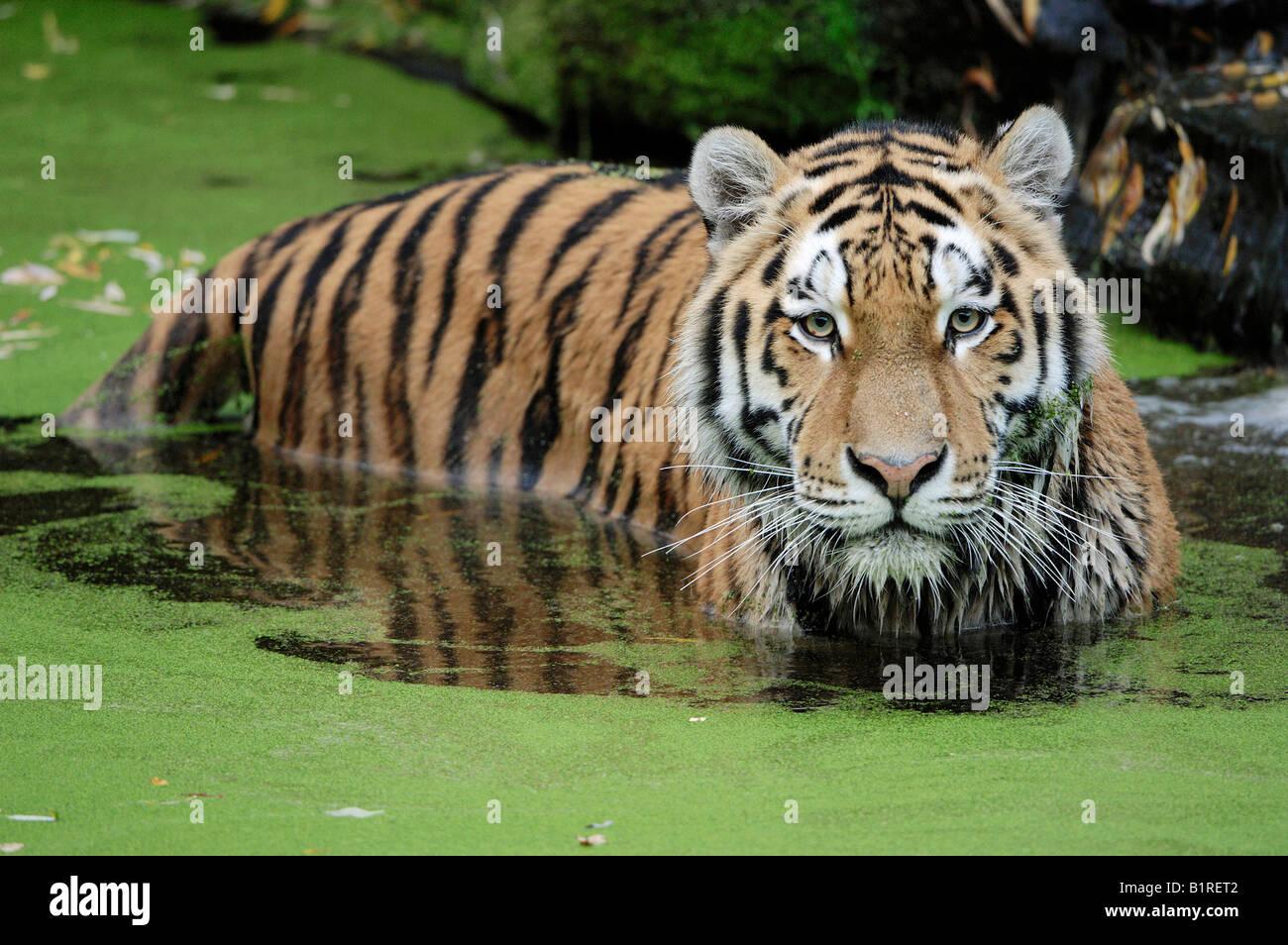 Sibirischer Tiger (Panthera Tigris Altaica) in Algen bedeckten Wasser stehen Stockbild