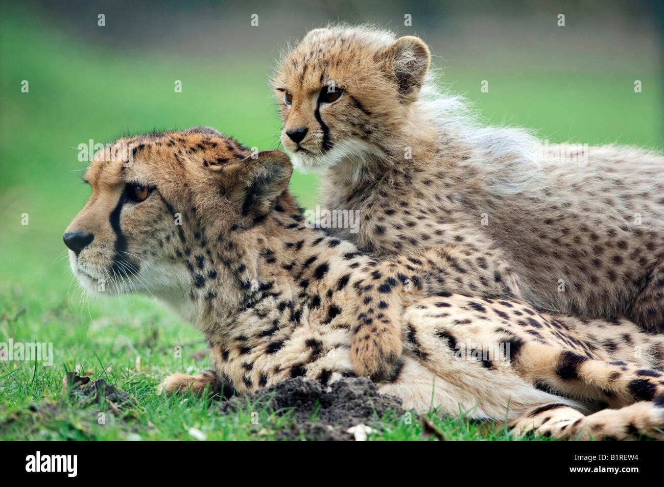 Geparden (Acinonyx Jubatus), Weibchen mit Jungtier Stockbild