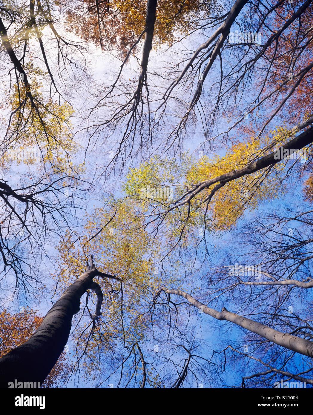 Blick auf die Kronen, die Baumkronen der Europäischen buchen oder gemeinsame buchen (Fagus Sylvatica) Stockbild