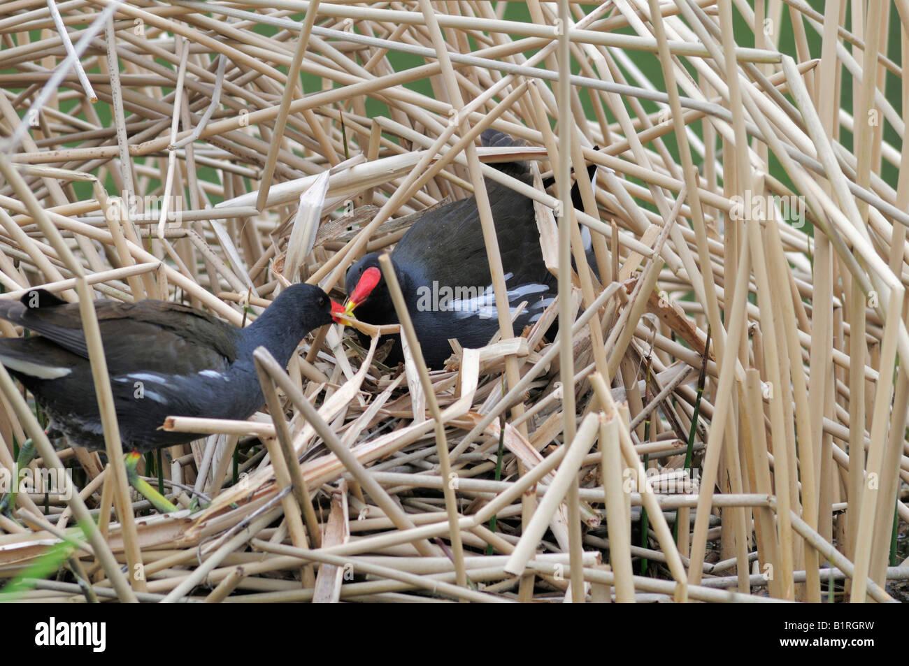 Paar Teichhühner, Waterhen (Gallinula Chloropus) bauen eine Nest im Schilf Gürtel, North Rhine-Westphalia, Stockbild