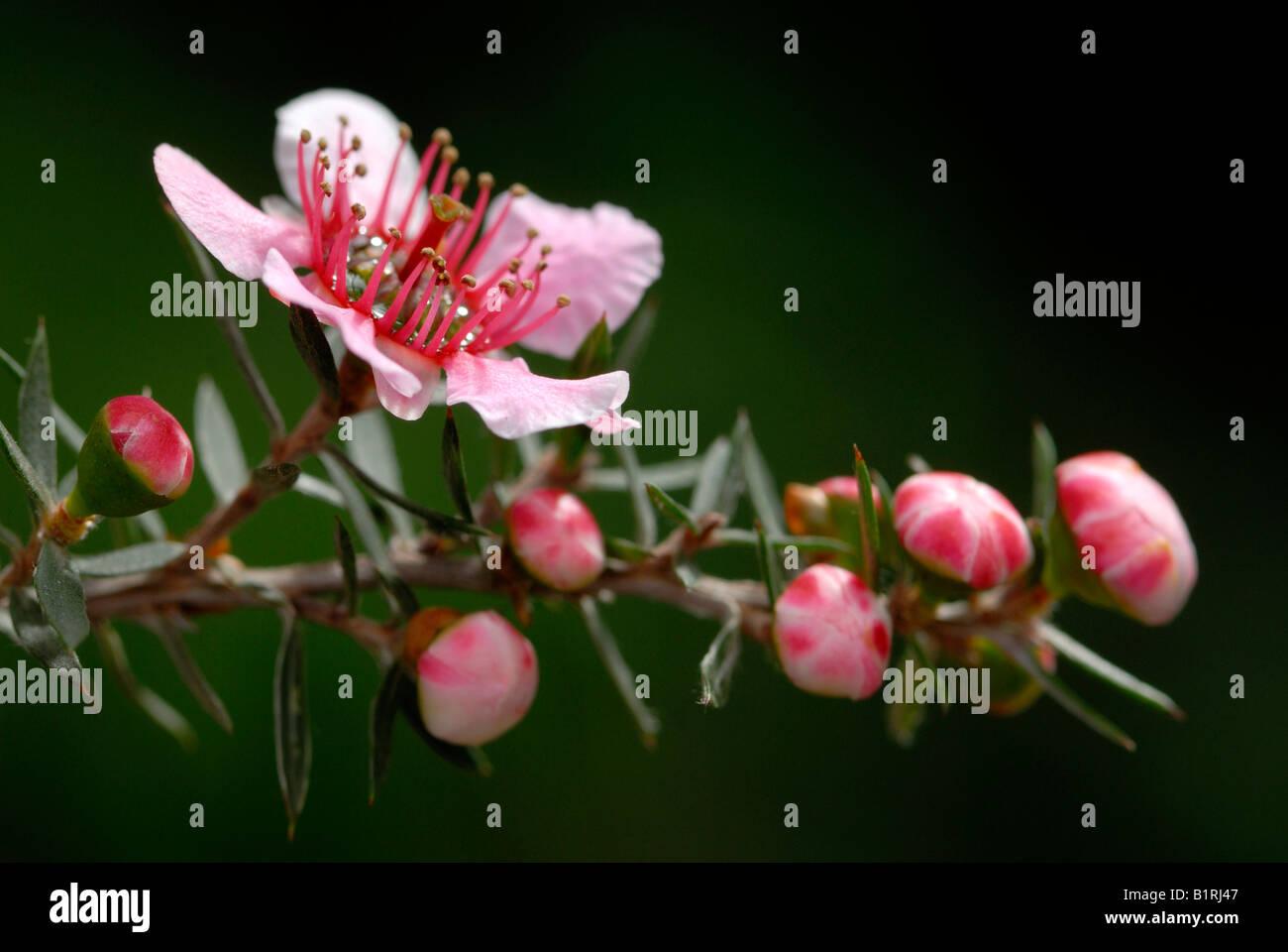 Manuka, Teebaum (Leptospermum Scoparium) Stockbild