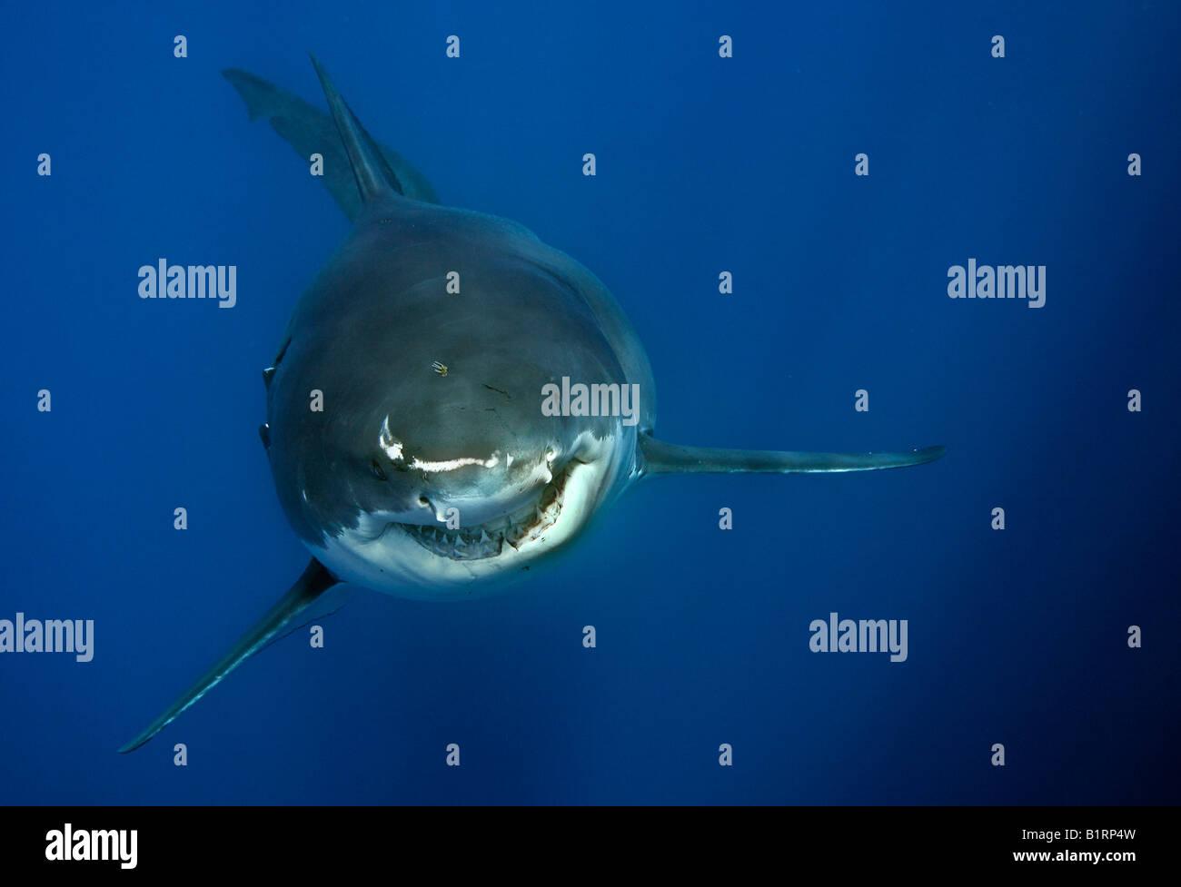 Weißer Hai (Carcharodon Carcharias), Guadalupe Island, Mexiko, Pazifik, Nordamerika Stockbild