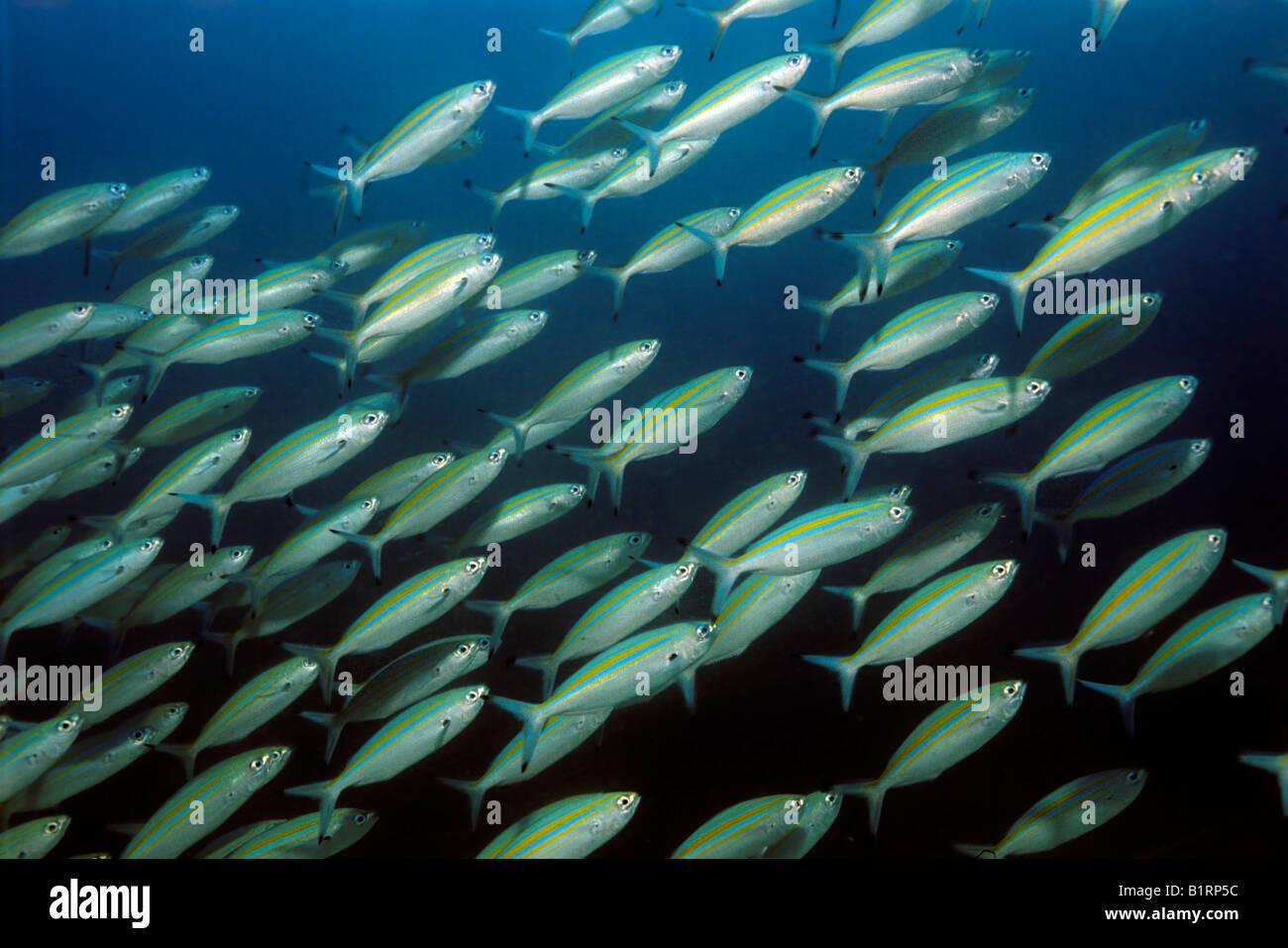 Schule der Variable gesäumten Füsilier (Caesio Varilineata) schwimmenden Fischen über ein Korallenriff, Stockbild