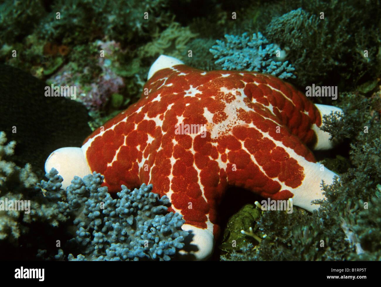 Granulierter Seastar (Choriaster Granulatus) in einem Korallenriff, Musandam, Oman, Indischer Ozean, Asien, Arabische Stockbild