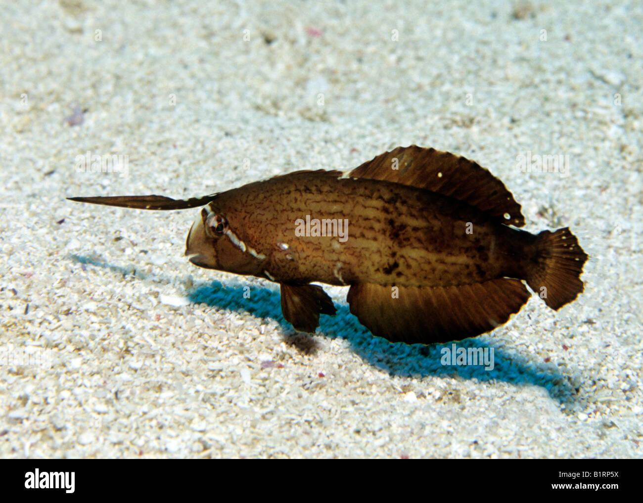 Peacock Razorfish (Xyrichtys Pavo), juvenile, Schwimmen über sandigen Meeresboden, Halbinsel Musandam, Oman, Stockbild