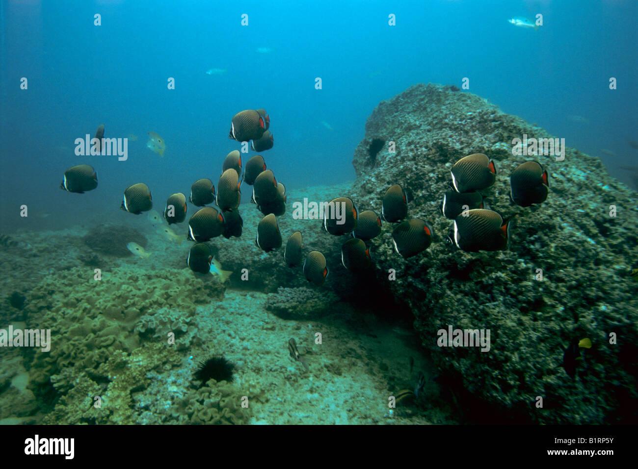 Schule der Rotschwanzboa-gebändert-Butterflyfish (Chaetodontidae Collare), Schwimmen über ein Korallenriff, Stockbild
