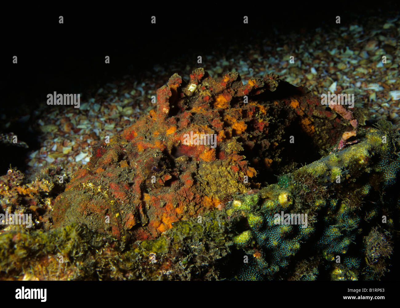 Wahre Steinfische oder Riff Steinfisch (Synanceia verzweigt) gegen ein Korallenriff warten auf Beute, Musandam, Stockbild