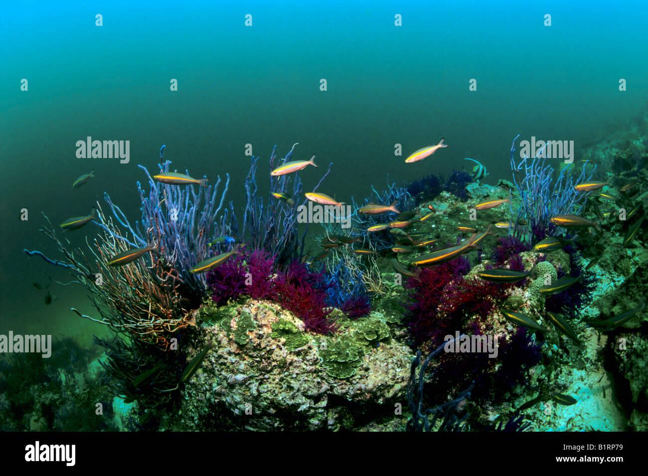 Violette Ellisella Coral (Ellisella SP.) und Gold Barr Fusilers (Pterocaesio Chrysozona) in ein Unterwasser-Szene, Stockbild