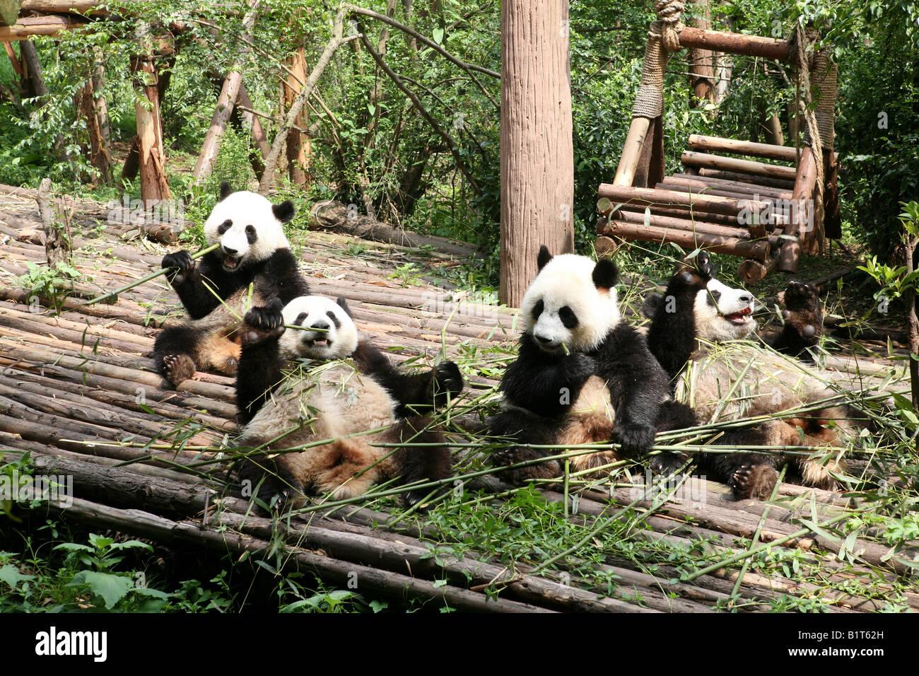 chengdu research base of giant panda breeding stockfotos chengdu research base of giant panda. Black Bedroom Furniture Sets. Home Design Ideas