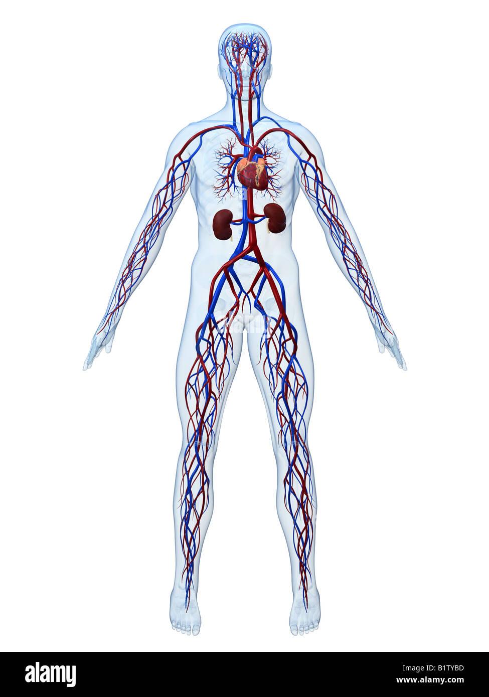Großartig Anatomie Und Physiologie 2 Herz Kreislauf System Test ...
