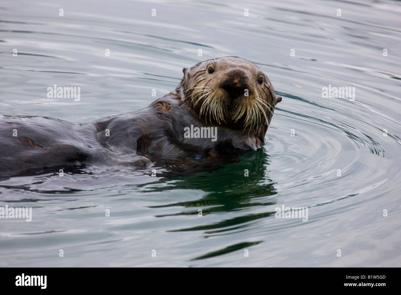 Sea Otter Enhydra Lutris Cordova, Alaska Stockbild