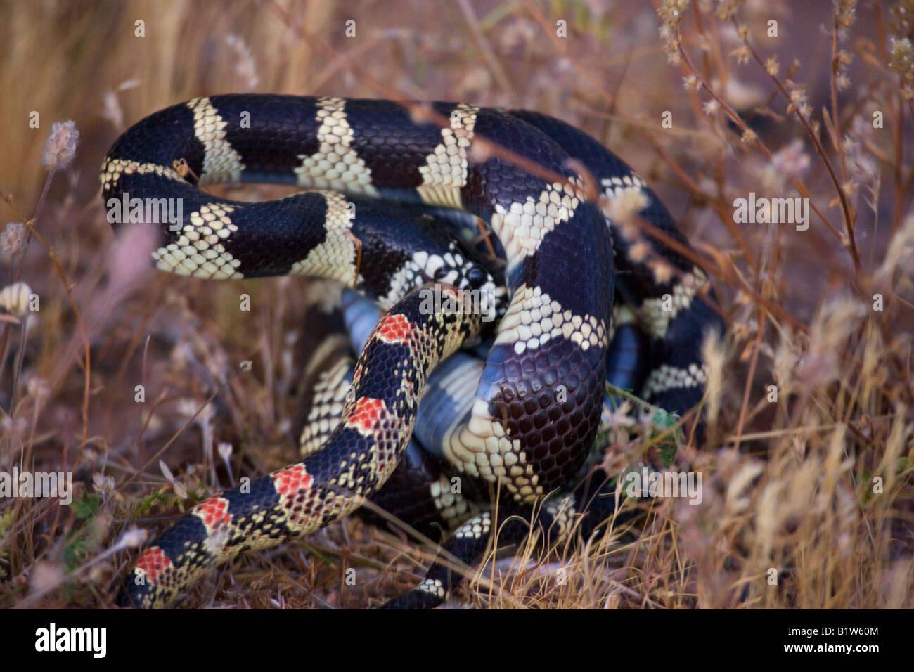 Eine gemeinsame King Snake Angriffe eine lange Nase Schlange in der Nähe von Fountain Hills außerhalb Stockbild