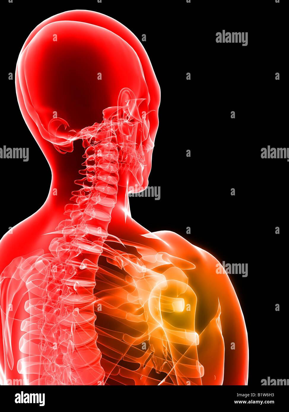 Ungewöhnlich Zurück Schultermuskulatur Anatomie Ideen - Menschliche ...