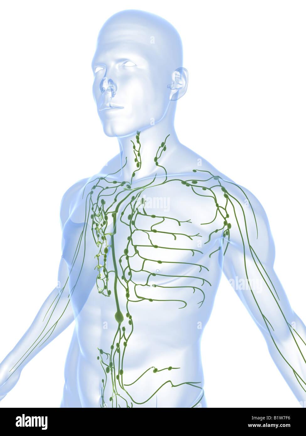 Fein Anatomie Und Physiologie Des Lymphsystems Fotos - Menschliche ...