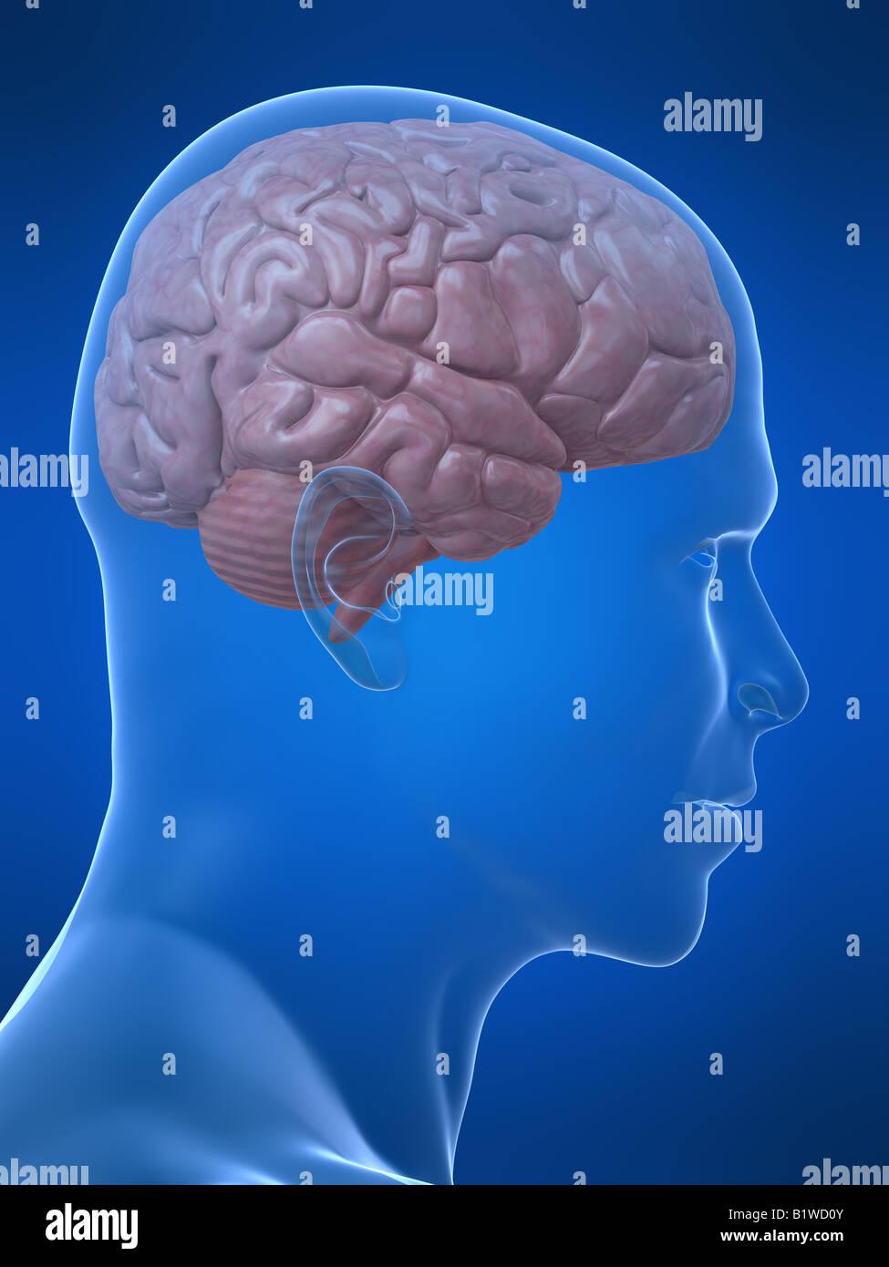Fantastisch Markierte Bilder Des Gehirns Ideen - Anatomie Von ...