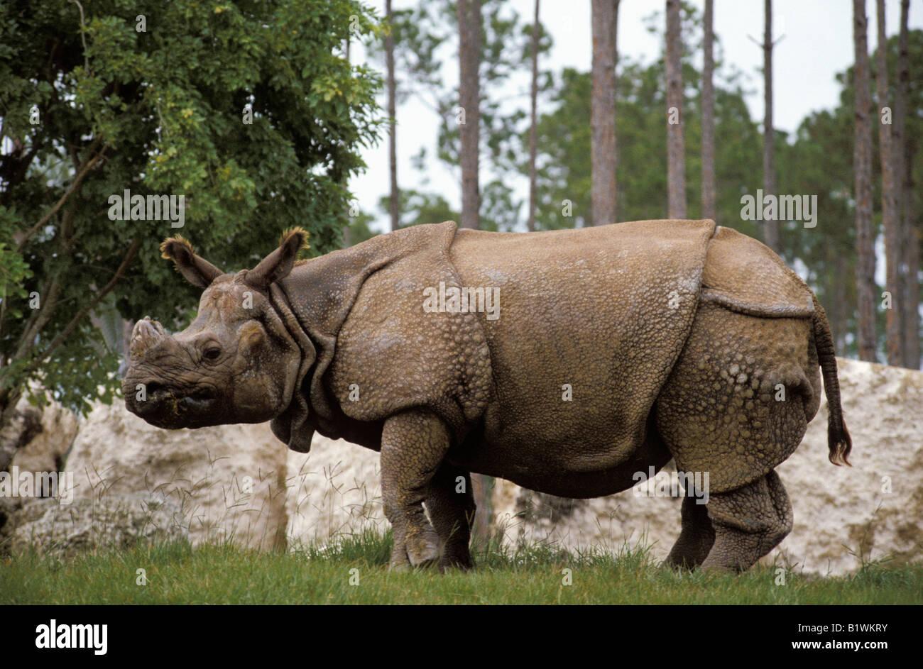 Rhino Indien Panzernashorn große indische Nashorn größere indischen Nashorn Rhinoceros Unicornis Stockbild