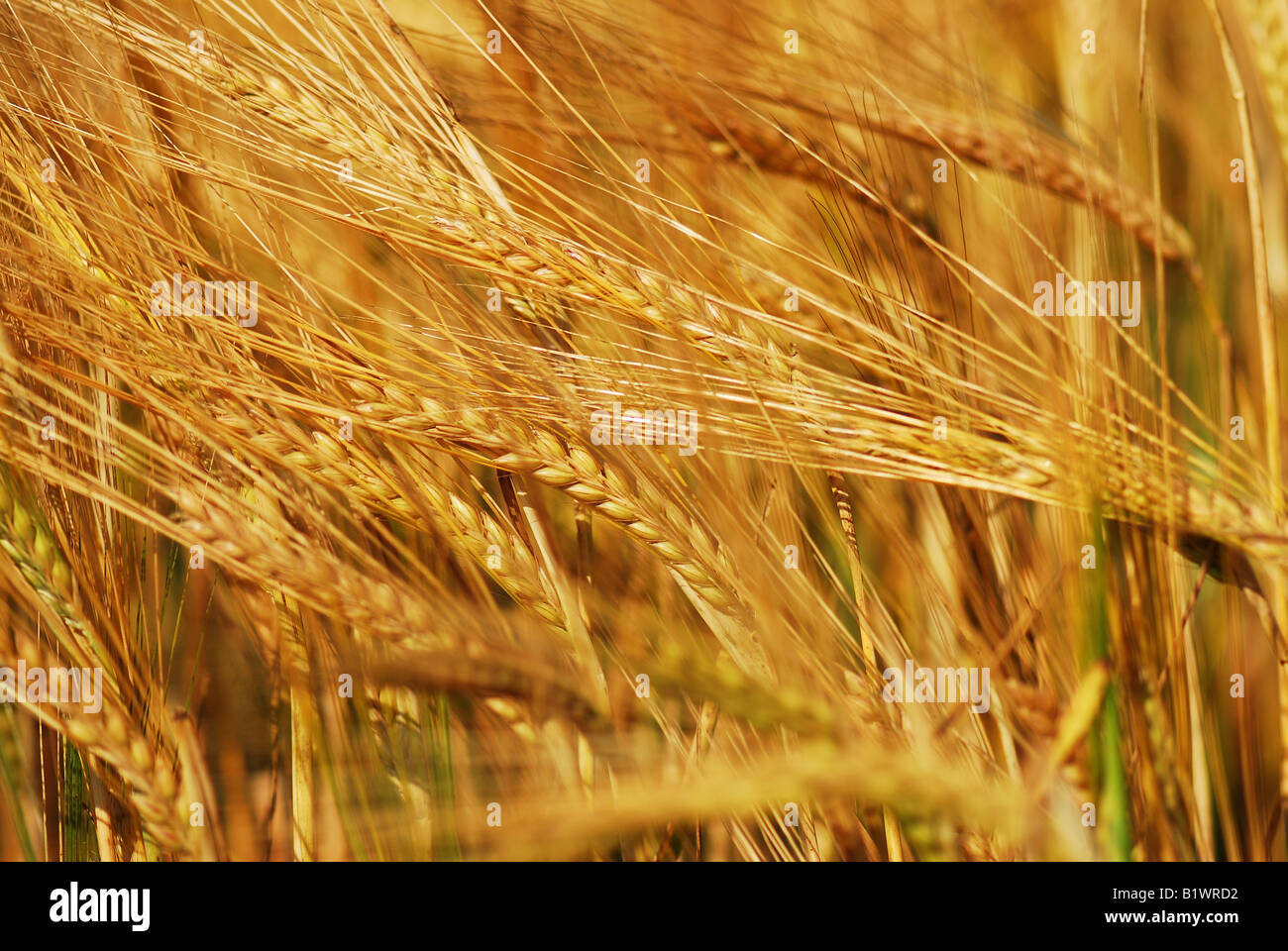 Ertrag von Weizen Stockbild