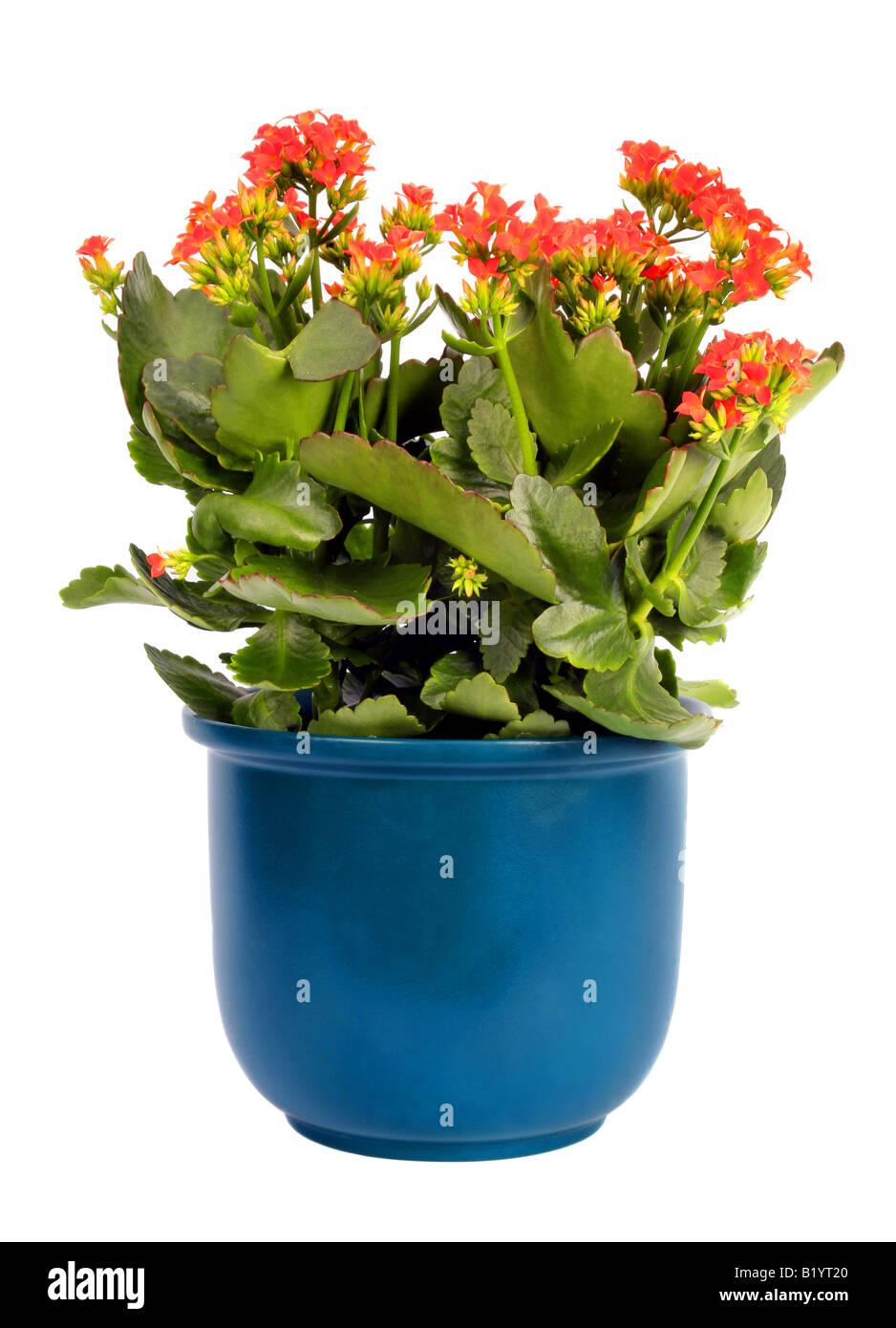 brillante sterne flammenden katy madagaskar witwe s begeistern kalanchoe blossfeldiana mit orange blumen topfpflanzen pflanze - Blumen Im Topf Pflanzen