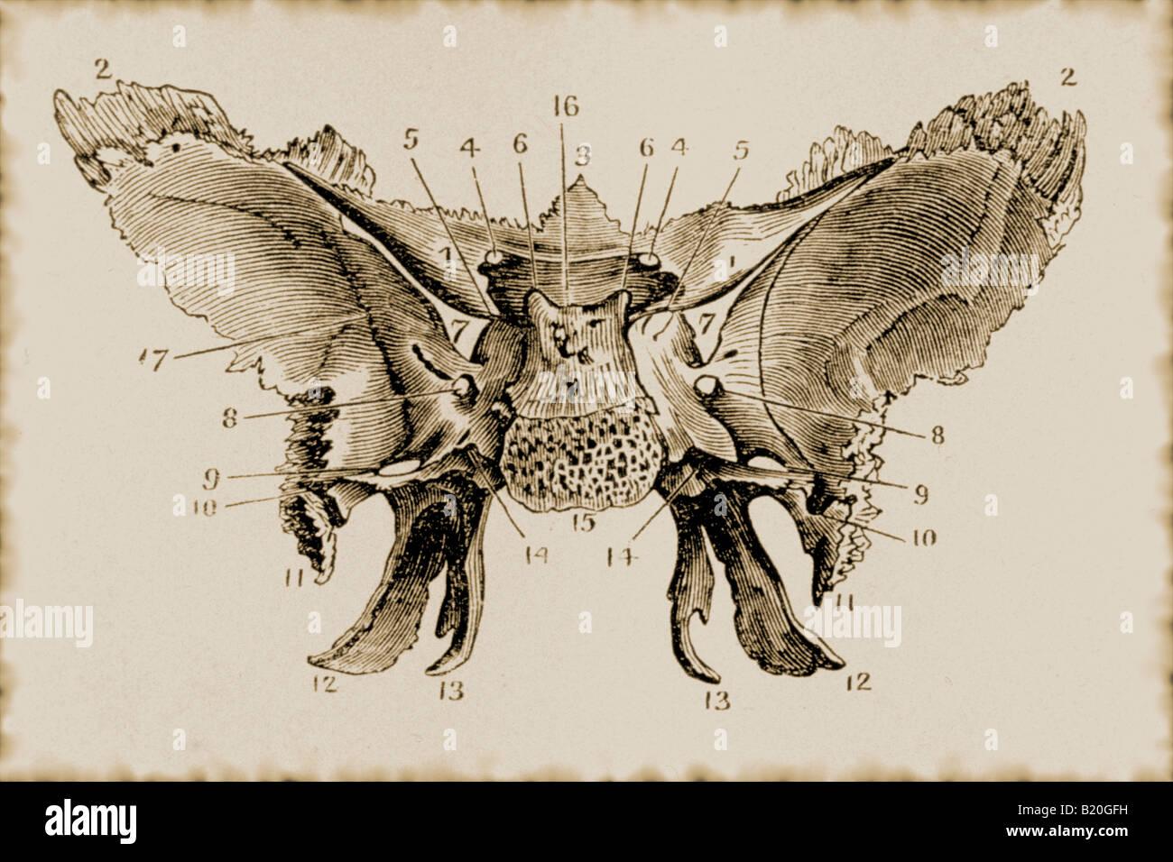 Sphenoid Bone Stockfotos & Sphenoid Bone Bilder - Alamy
