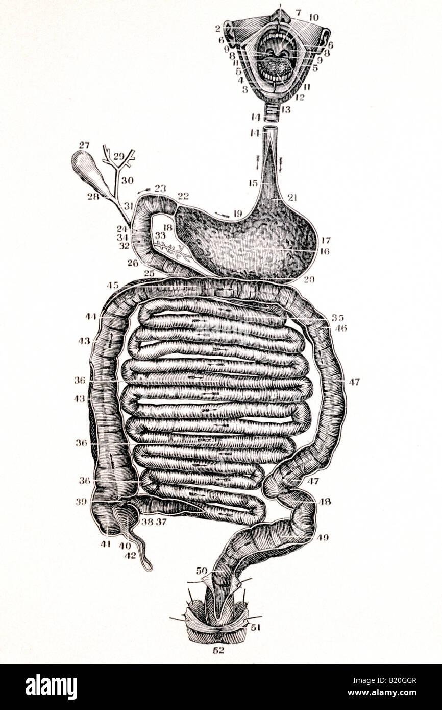 Berühmt Bild Des Verdauungstraktes Galerie - Anatomie Ideen ...