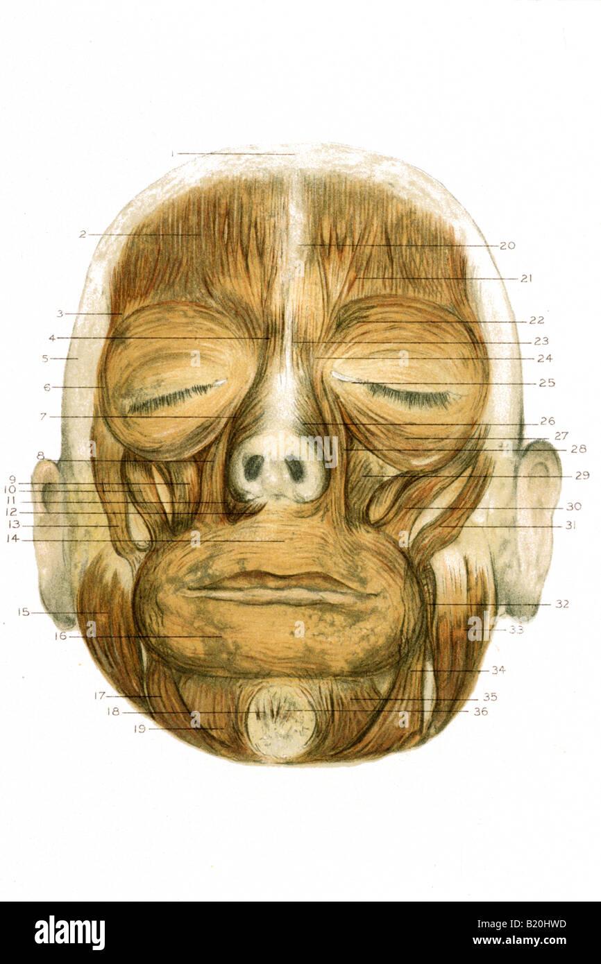 Großartig Gesichtsmuskel Diagramm Zeitgenössisch - Menschliche ...