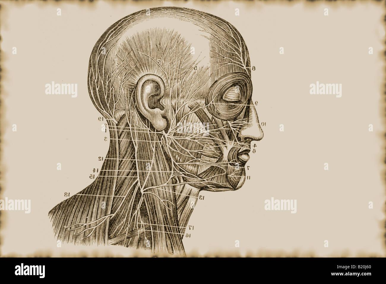 Nett Aortenbogen Zweige Anatomie Fotos - Menschliche Anatomie Bilder ...