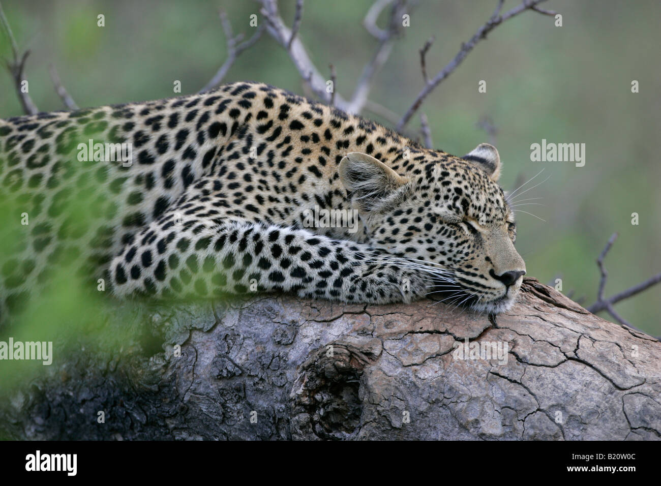 sleeping leopard panthera pardus on stockfotos sleeping leopard panthera pardus on bilder alamy. Black Bedroom Furniture Sets. Home Design Ideas